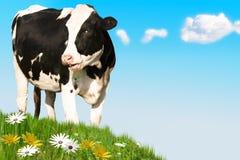 Vaca de risa Imagen de archivo libre de regalías