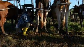 A vaca de Ryots prepara a ordenha video estoque