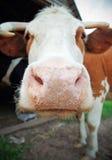 Vaca de sorriso fotografia de stock