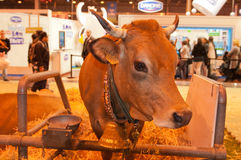 Vaca de Tarentaise Fotografía de archivo