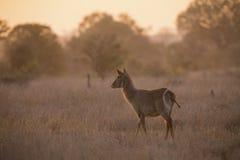 Vaca de Waterbuck en la puesta del sol con el sol de detrás Imagenes de archivo
