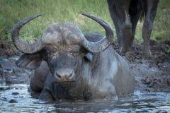 Vaca del búfalo del cabo que goza de la agua fría y del fango del agujero de riego imágenes de archivo libres de regalías