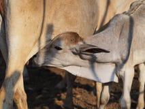 Vaca del bebé Fotografía de archivo libre de regalías