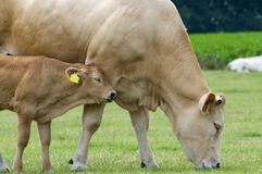 Vaca del bebé con la madre Fotos de archivo libres de regalías