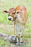 Vaca del bebé Fotos de archivo libres de regalías