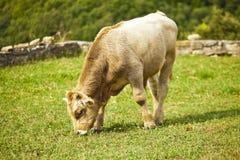 Vaca del becerro Imagen de archivo libre de regalías