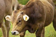 Vaca del becerro y madre de los hes Imagen de archivo