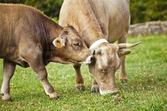 Vaca del becerro y madre de los hes Fotos de archivo