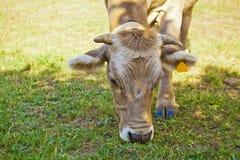Vaca del becerro y madre de los hes Imágenes de archivo libres de regalías
