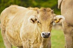 Vaca del becerro y madre de los hes Fotos de archivo libres de regalías