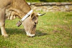 Vaca del becerro y madre de los hes Imagen de archivo libre de regalías