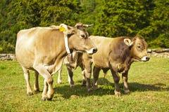Vaca del becerro y madre de los hes Foto de archivo