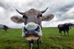 Vaca del bozal Foto de archivo libre de regalías