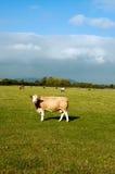 Vaca del campo Fotografía de archivo