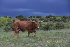 Vaca del fonolocalizador de bocinas grandes con tempestades de truenos en fondo fotos de archivo