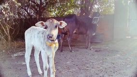 Vaca del ganado Fotos de archivo