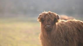 Vaca del ganado de la montaña en el pasto almacen de metraje de vídeo