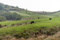 Vaca del parque de la nación de Yangmingshan en Qing Tian Gang, Taipei abril de 2016 Fotografía de archivo libre de regalías