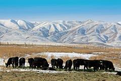 Vaca del perro chino Imágenes de archivo libres de regalías