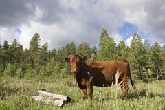 Vaca del rango en montañas Imagen de archivo libre de regalías