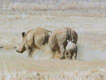 Vaca del rinoceronte que persigue el otro rinoceronte con el siguiente del becerro Imagenes de archivo