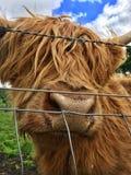 Vaca del rojo de la montaña Imagenes de archivo