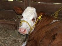 Vaca del Simmental Fotos de archivo