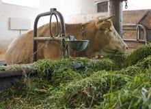 Vaca dentro de um celeiro de vaca fotos de stock royalty free