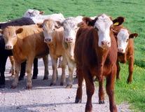 Vaca destacada Foto de archivo libre de regalías
