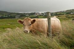 Vaca detrás de la cerca Foto de archivo libre de regalías