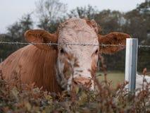 Vaca detrás del alambre de púas fotografía de archivo libre de regalías