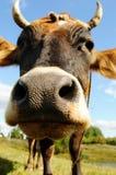 Vaca divertida Fotografía de archivo
