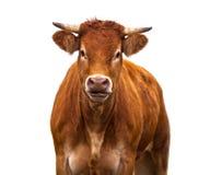 Vaca divertida en blanco Fotografía de archivo