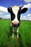 Vaca divertida en campo verde Imagenes de archivo