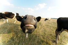 Vaca divertida en prado con la hierba Foto de archivo libre de regalías