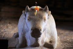 A vaca divina Fotografia de Stock