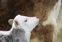 Vaca do bebê foto de stock royalty free