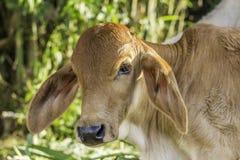 Vaca do bebê Imagens de Stock Royalty Free