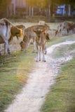Vaca do bebê Imagem de Stock