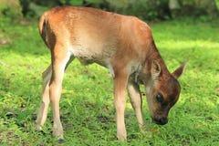 Vaca do bebê Fotografia de Stock Royalty Free