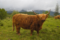 Vaca do escocês Fotografia de Stock