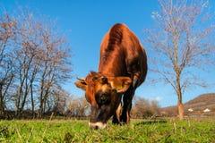Vaca do jérsei no pasto Fotos de Stock Royalty Free