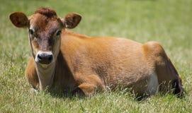 Vaca do jérsei que relaxa o perfil dianteiro Foto de Stock