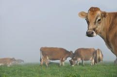 Vaca do jérsei Fotografia de Stock