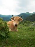 Vaca do puro-sangue que espreita fora do arbusto em uma floresta Imagem de Stock