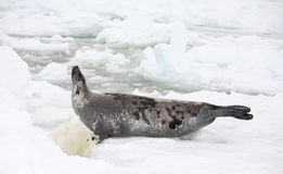 Vaca do selo de harpa e filhote de cachorro recém-nascido no gelo imagens de stock royalty free