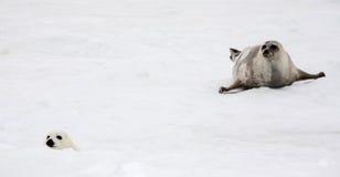 Vaca do selo de harpa e filhote de cachorro recém-nascido no gelo fotografia de stock royalty free