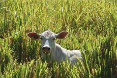 Vaca do solitário na exploração agrícola foto de stock