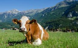A vaca do suíço de Brown encontra-se no prado verde com backg alpino das montanhas Imagem de Stock