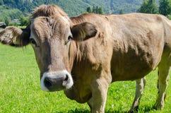 Vaca do suíço de Brown no prado verde com fundo alpino das montanhas fotografia de stock